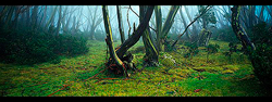 snow_gums_in_mist500.jpg